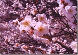 PrunusMume