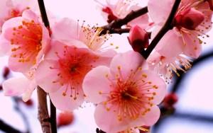 hoa dao 6