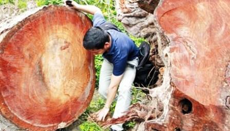 Loại cây to và chắc như thế này có mục ruỗng đâu mà chặt?